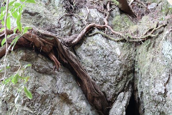 八大龍王神大滝付近にある剥き出しの根っこ