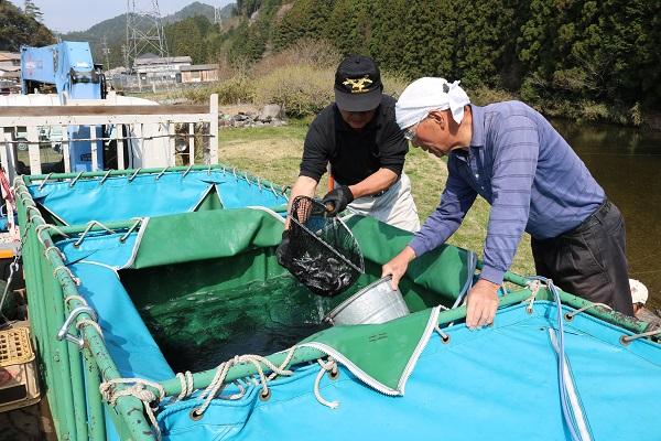 県魚苗センターから運ばれた鮎をすくい上げる