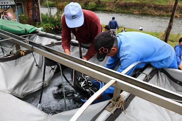 稚鮎を水槽からすくい上げる