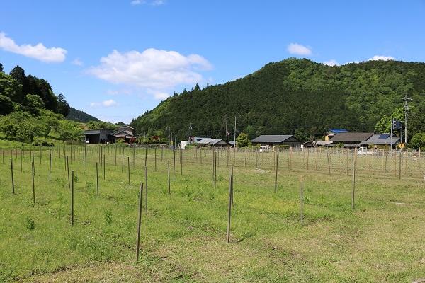 関市中之保のパッションフルーツ畑