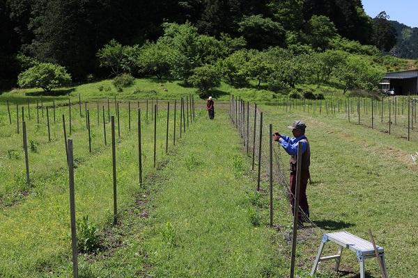 パッションフルーツ畑のネット張り