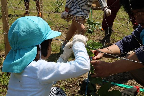 パッションフルーツ苗植え体験