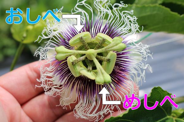 露地栽培関むぎパッションフルーツの花めしべとおしべ