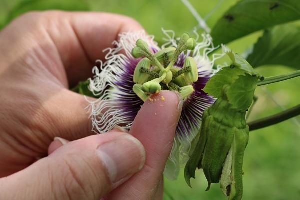 露地栽培関むぎパッションフルーツの受粉作業