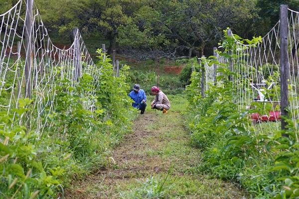 古池裕美さんにパッションフルーツの収穫方法を教わる