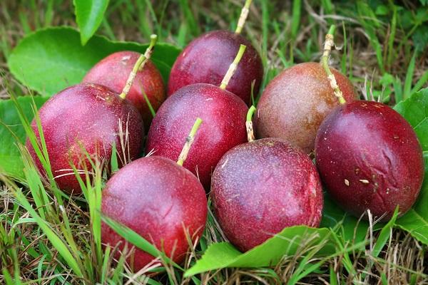 赤く熟した関むぎパッションフルーツの果実