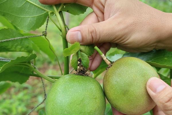 自然落果しそうなパッションフルーツの果実