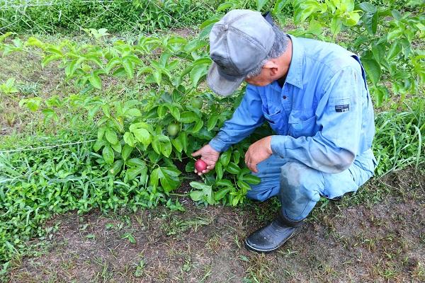 パッションフルーツの収穫体験