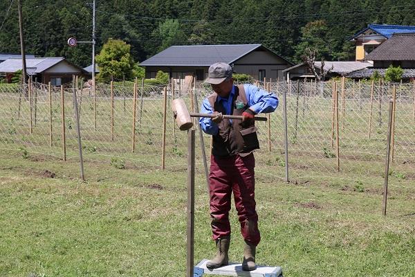 パッションフルーツ畑に杭を打ち付ける