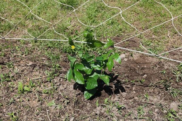 植えられた関むぎパッションフルーツの苗