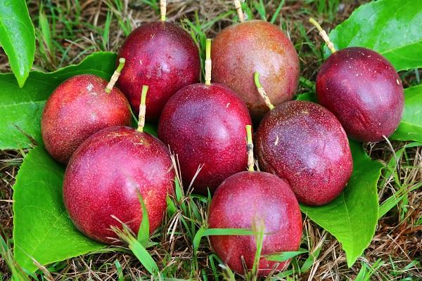 収穫したパッションフルーツの果実