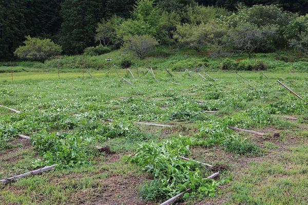 台風21号の影響を受けたパッションフルーツ畑