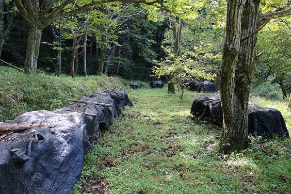 八滝ウッディランド原木しいたけの伏せ込み場