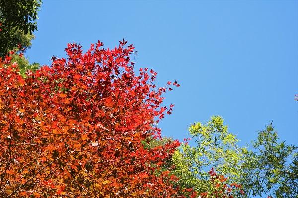 津保谷の紅葉