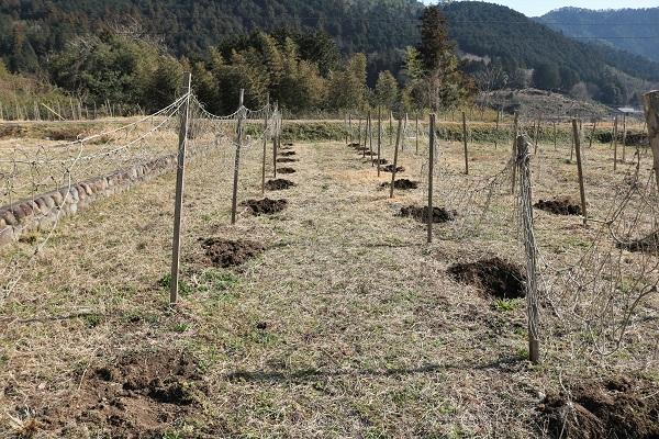 肥料が撒かれたパッションフルーツ畑