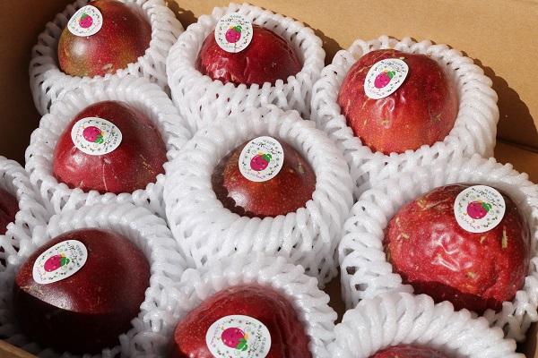 出荷前のパッションフルーツの果実