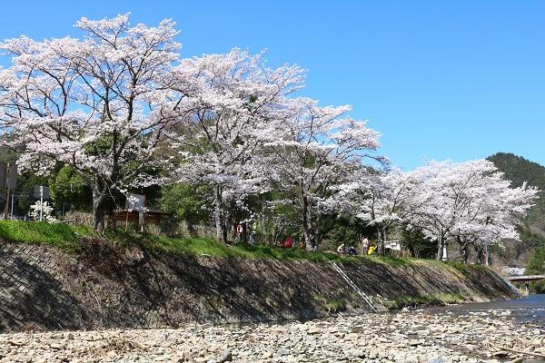 津保川沿いの桜