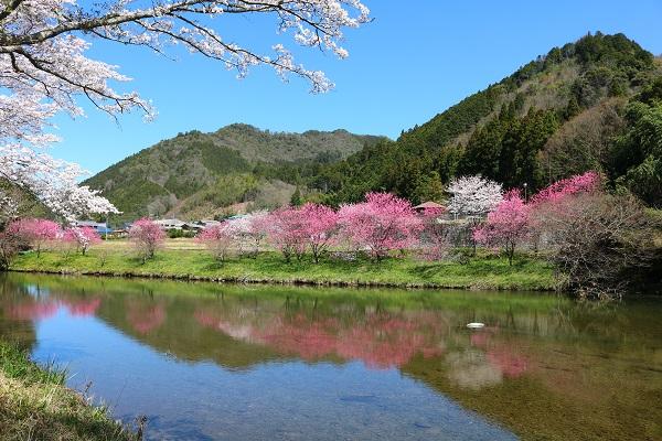 津保川沿いの桃と桜