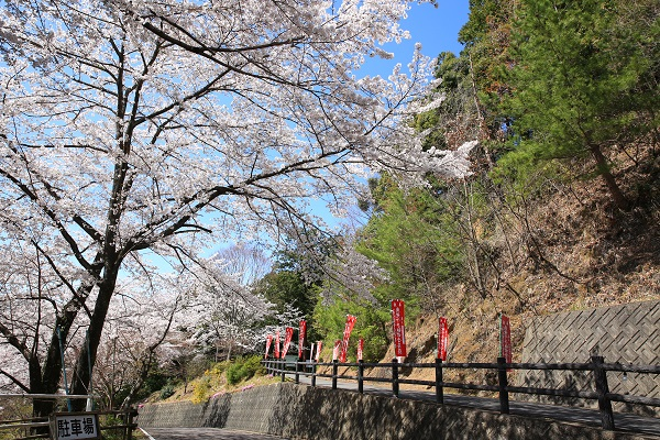 日龍峯寺の桜