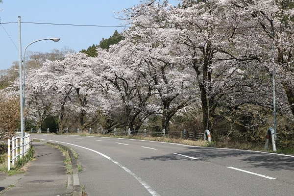 県道58号線沿いの桜