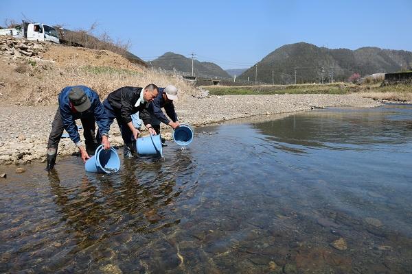 津保川に放流される稚鮎