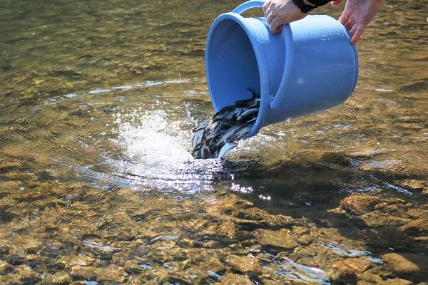 バケツ1杯に約300匹から400匹の稚鮎