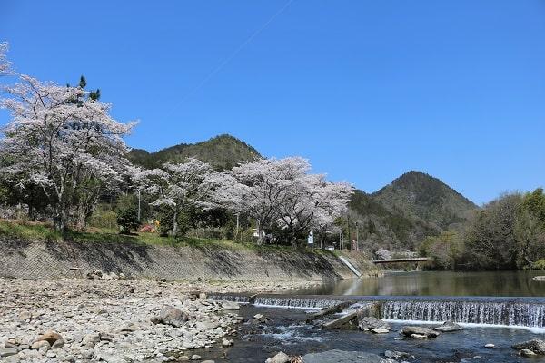 道の駅平成向かい津保川沿いの桜並木