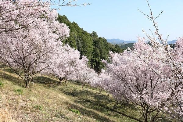 日龍峯寺第二駐車場のひな壇桜