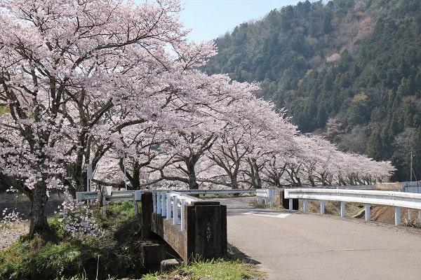 富之保橋下流の桜並木