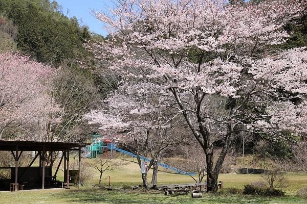八滝ウッディランド芝生広場入り口付近の桜