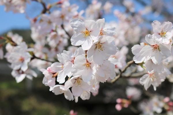 関市武儀地域の桜