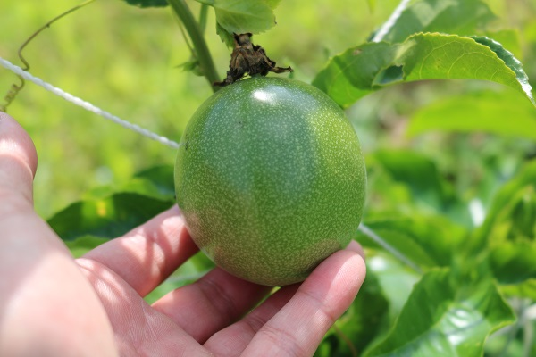 6月下旬でこんなに大きな果実も