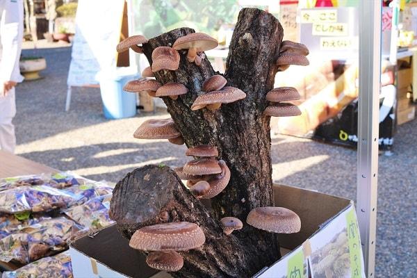 原木しいたけは木から生えます