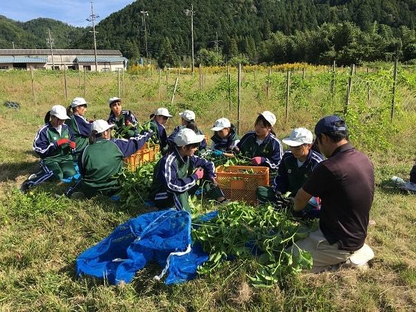 葉っぱを摘み取る生徒たち