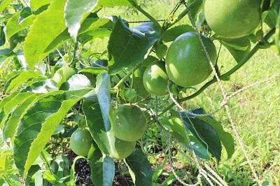 パッションフルーツの青い果実