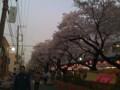 [まち][tokyo][magome]内川流路あと、馬込桜並木通りの花見時期