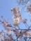 2015 野川の桜