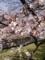 2015。野川の桜