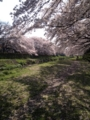 野川の桜花見