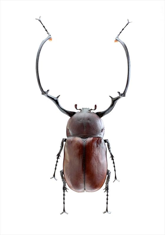 Euchirus longimanus longimanus