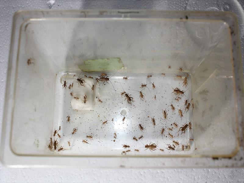 コオロギ 幼虫 水