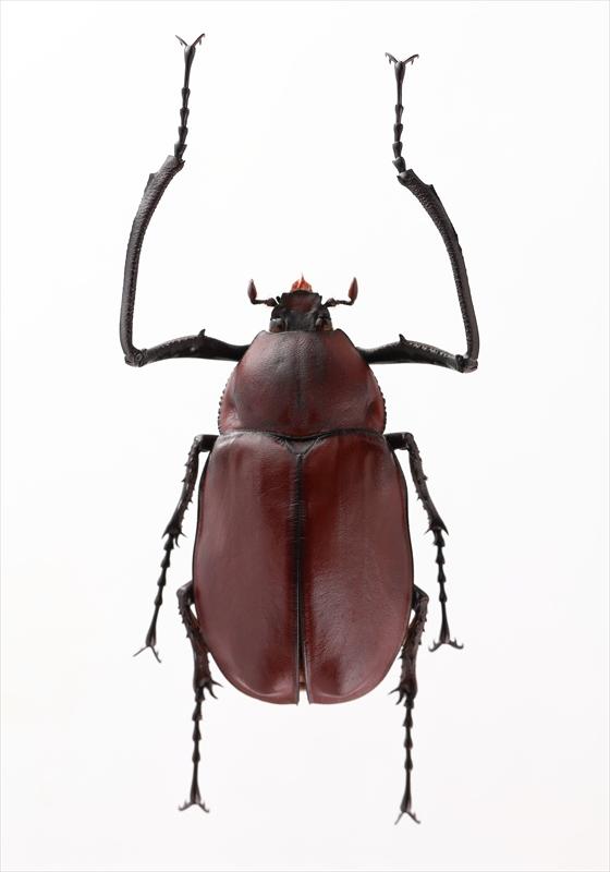セラムドウナガテナガコガネ Euchirus longimanus longimanus