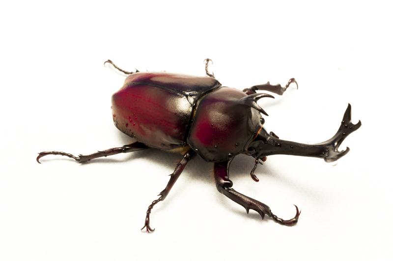 日本のカブトムシ