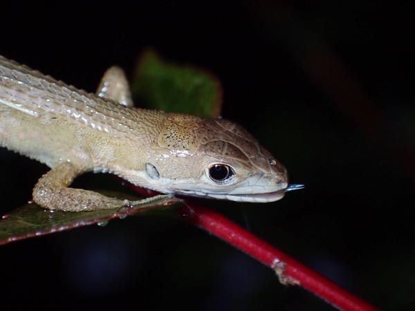 夜のカナヘビ