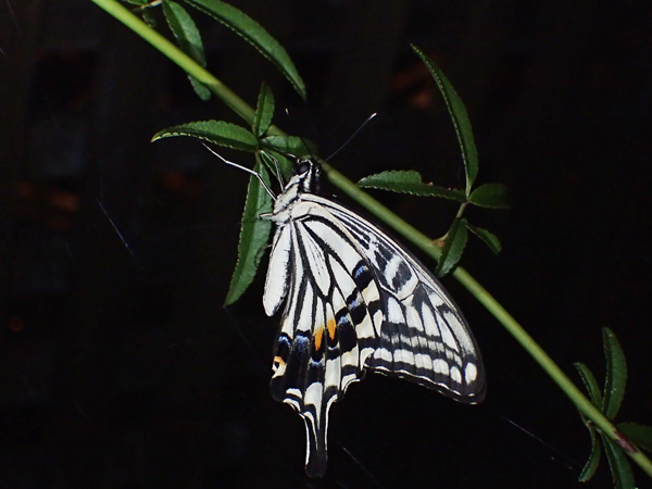 夜のナミアゲハ