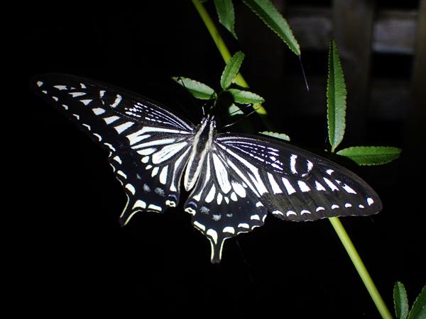 夜のナミアゲハの開翅