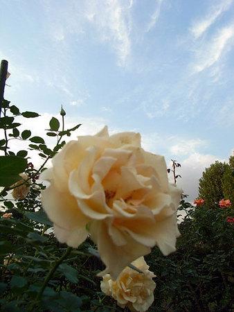 白薔薇と青空