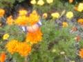 ツマグロヒョウモン♀&マリーゴールド畑
