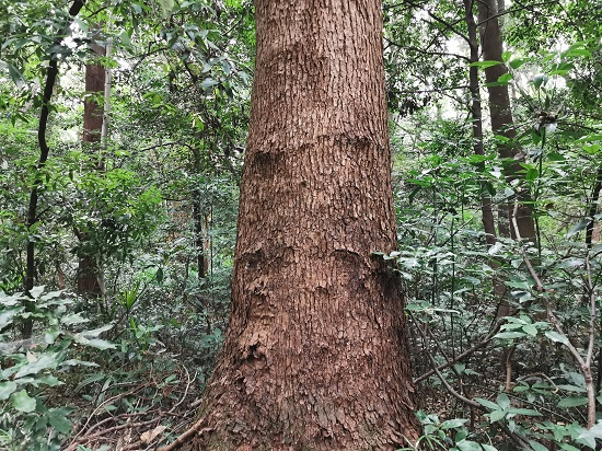 森林のシンボルツリー