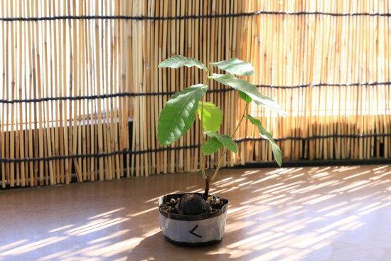 クヌギのミニ盆栽の様子